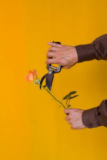 Picture of a rose being cut with shears.