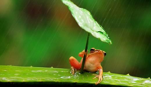 ( Pic ) Lucu! Seekor Katak Kecil Memakai Payung Daun Pada Saat Hujan