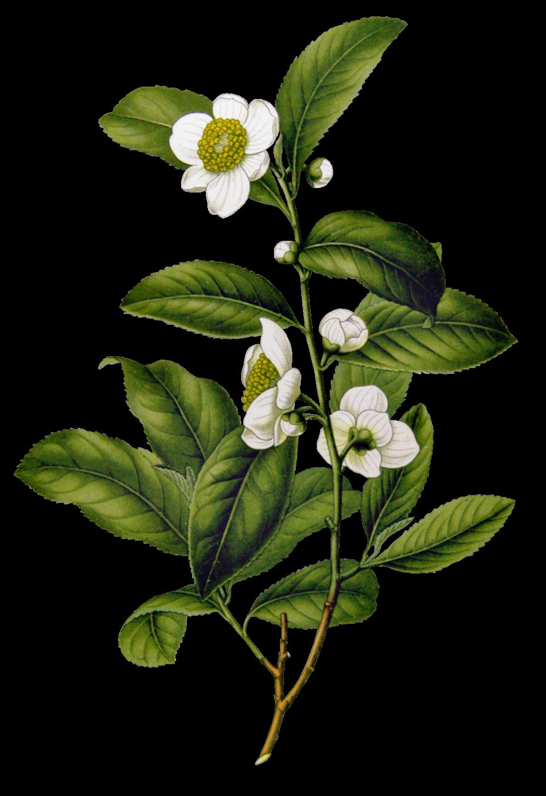 ARIE CELLULAR: Koleksi Gambar Bunga Format PNG