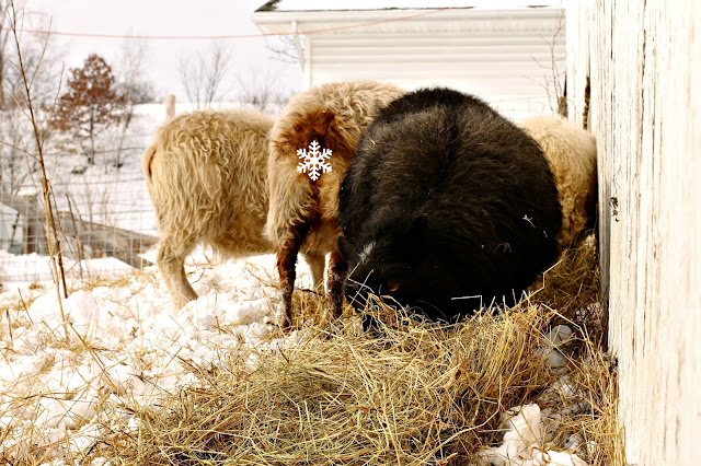 Icelandic ewes enjoying their hay on Litengård - Little Farm in Wisconsin