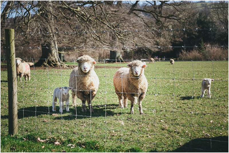 Sheep at wedding venue, Devon