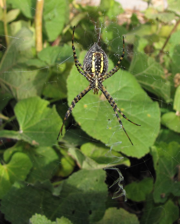 bug eric spider sunday banded argiope