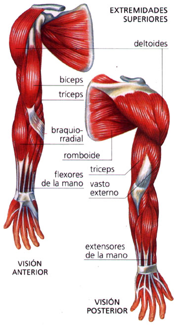 Músculos de las extremidades superiores | El Cuerpo Humano