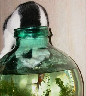 Gato tenta apanhar peixe no aquário