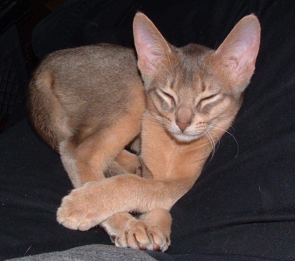 http://4.bp.blogspot.com/-R2wbEABRkkU/Tx74SPdlfEI/AAAAAAAAFOY/_XxOQZjqGJY/s1600/Abyssinian+Cat+Breed++%252831%2529.jpg