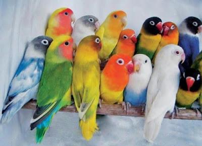 Jenis Warna Burung Love Bird Yang Bagus