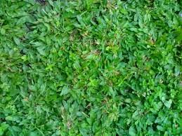 cara menanam rumput gajah mini