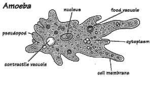 Macam-Macam jenis Protista Mirip Hewan