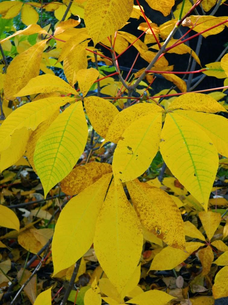 Bottlebrush buckeye Aesculus parviflora autumn foliage Mount Pleasant Cemetery by garden muses-not another Toronto gardening blog