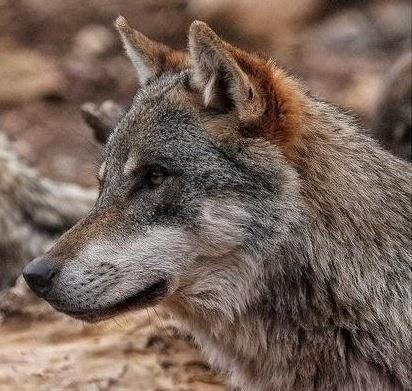 Admiradores del Lobo Ibérico