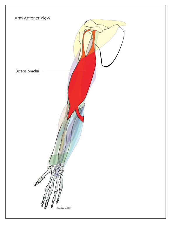 Paint Draw Paint, Learn to Draw: Anatomy Basics: Muscles ... Arm Muscles Drawing