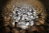 Mystery: Thousands of dead Fish Appear