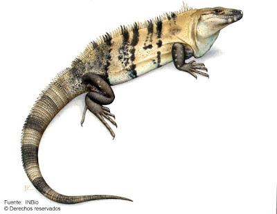 iguana negra Ctenosaura similis