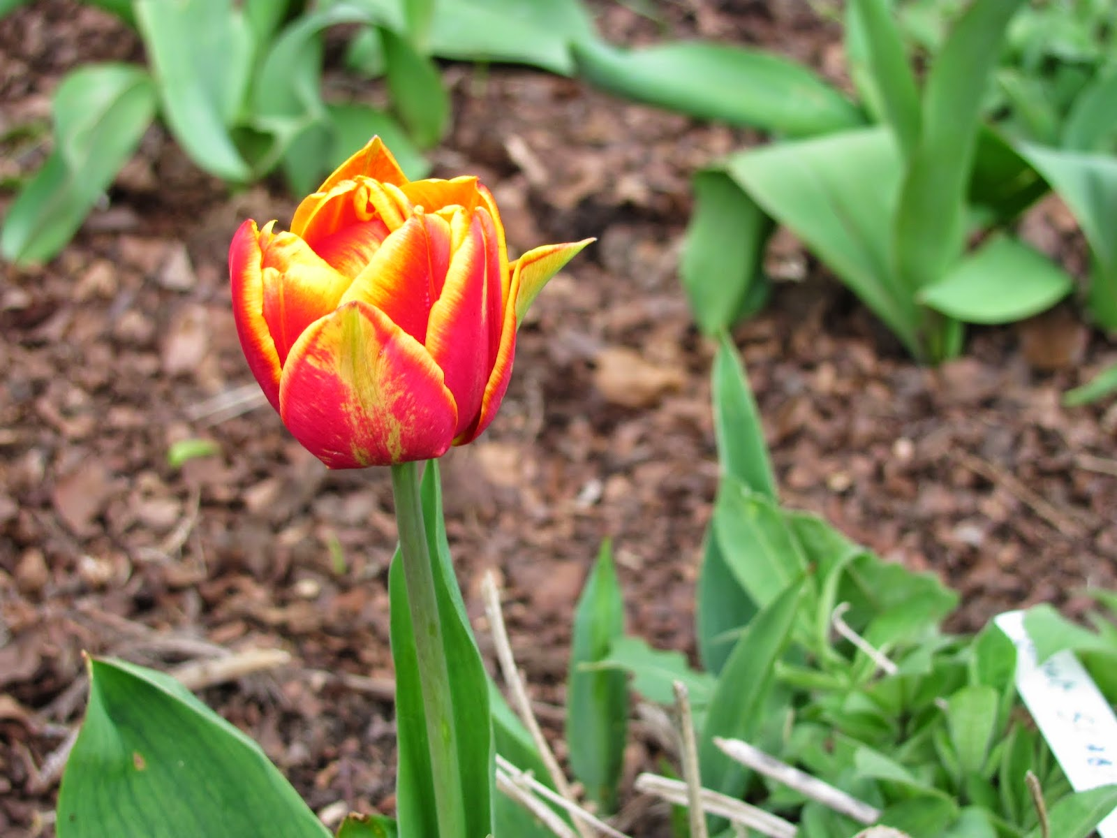 The Only Blooming Tulip on the Grounds - Farmleigh