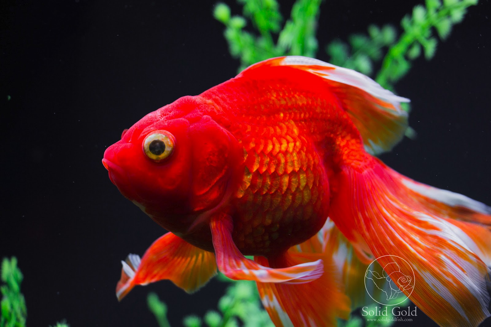 Pinterest the world s catalog of ideas for Types of red fish