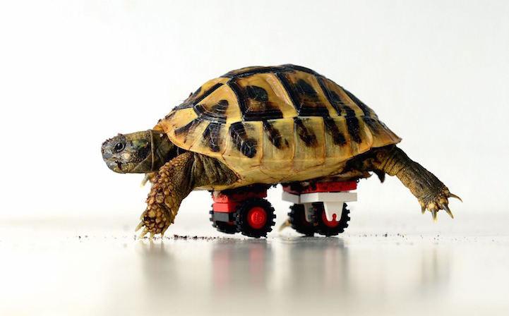 Tortuga recupera su movilidad gracias a las sillas de ruedas LEGO