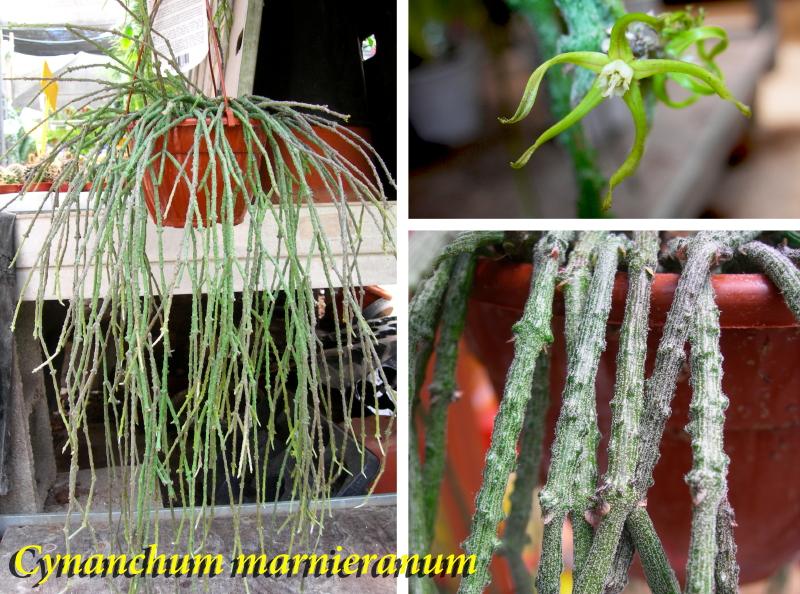 Viveros vangarden cactus epifitos rhipsalis y m s for Cactus variedades fotos