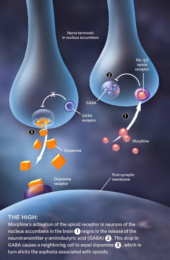 Oxycodone opiate receptors
