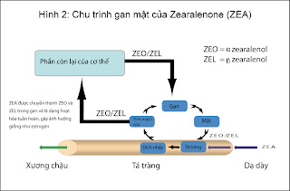 Chu kỳ gan mật của ZEA