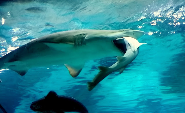 Un tiburón grande se come a otro en el COEX de Seúl