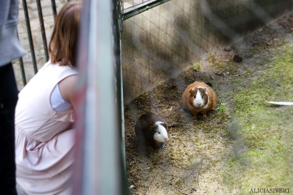 aliciasivert, alicia sivertsson, alicia sivert, berlin zoo, djurpark, djurhållning, instängda djur, djur i bur, cages, animal, animals, cage, marsvin