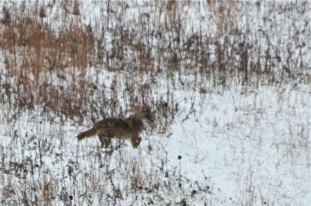 Coyotes den spank