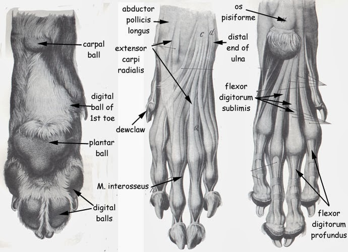Cat Paw Anatomy Diagram Muscles Free Wiring Diagram For You