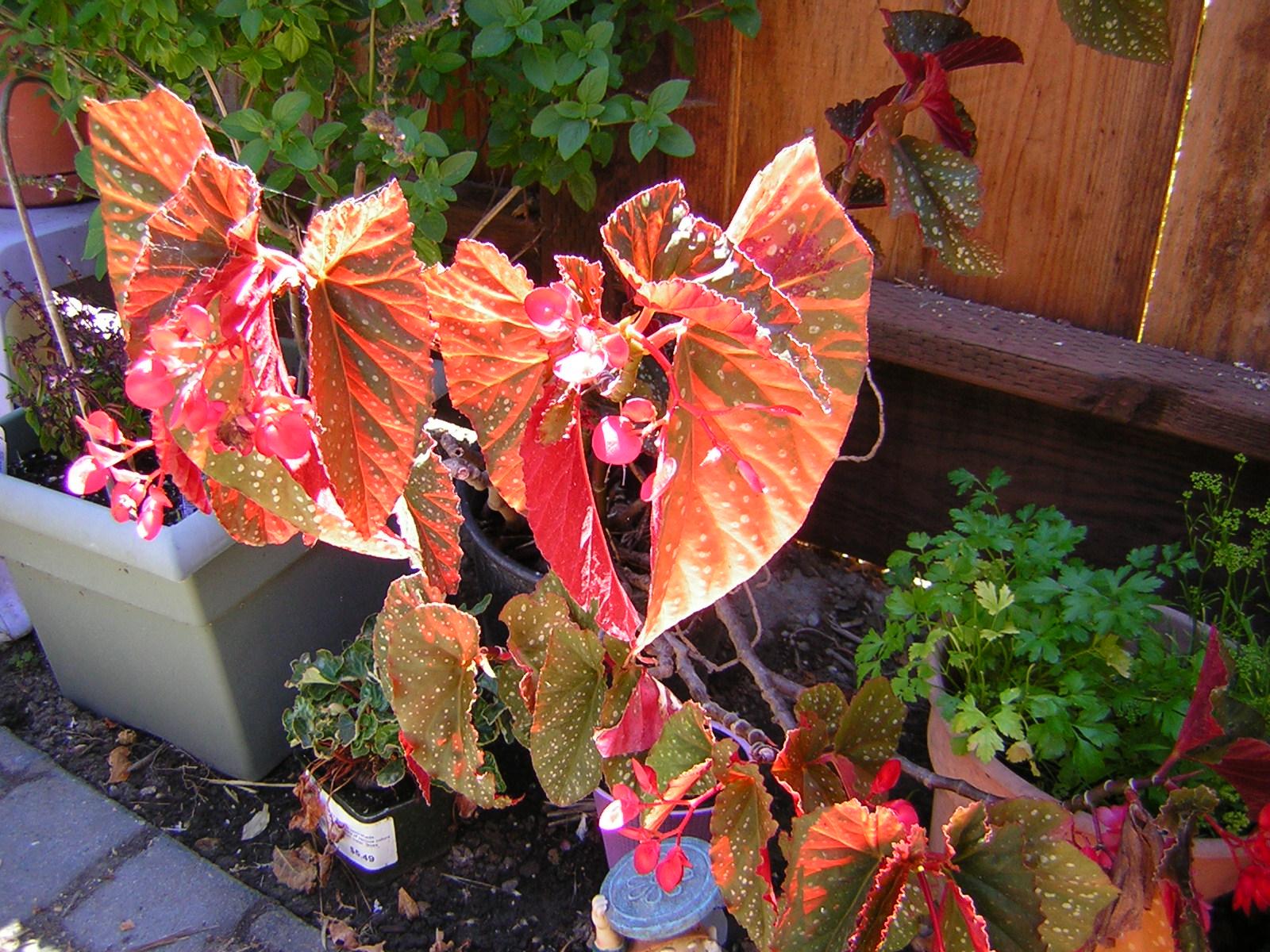 *Terra Garden*: Angel Wing Begonia