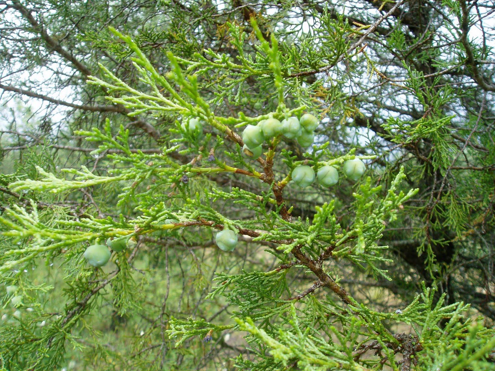 SABINA  Juniperus Thurifera