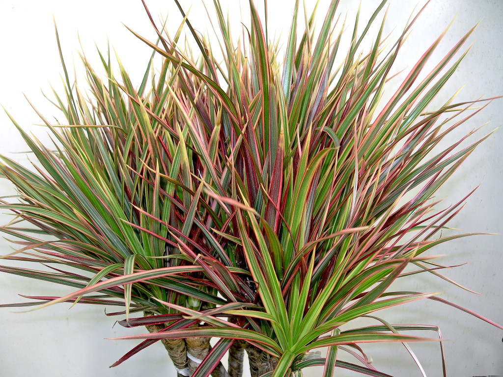 1000 images about house plants dracaena on pinterest for Dracaena marginata