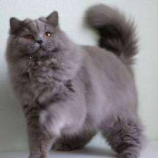 Pupile Człowieka Kot Brytyjski Długowłosy