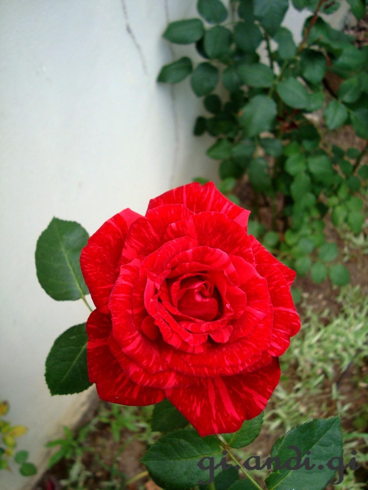 rosas vermelhas no meu jardimEssa semana floresceu uma rosa no meu