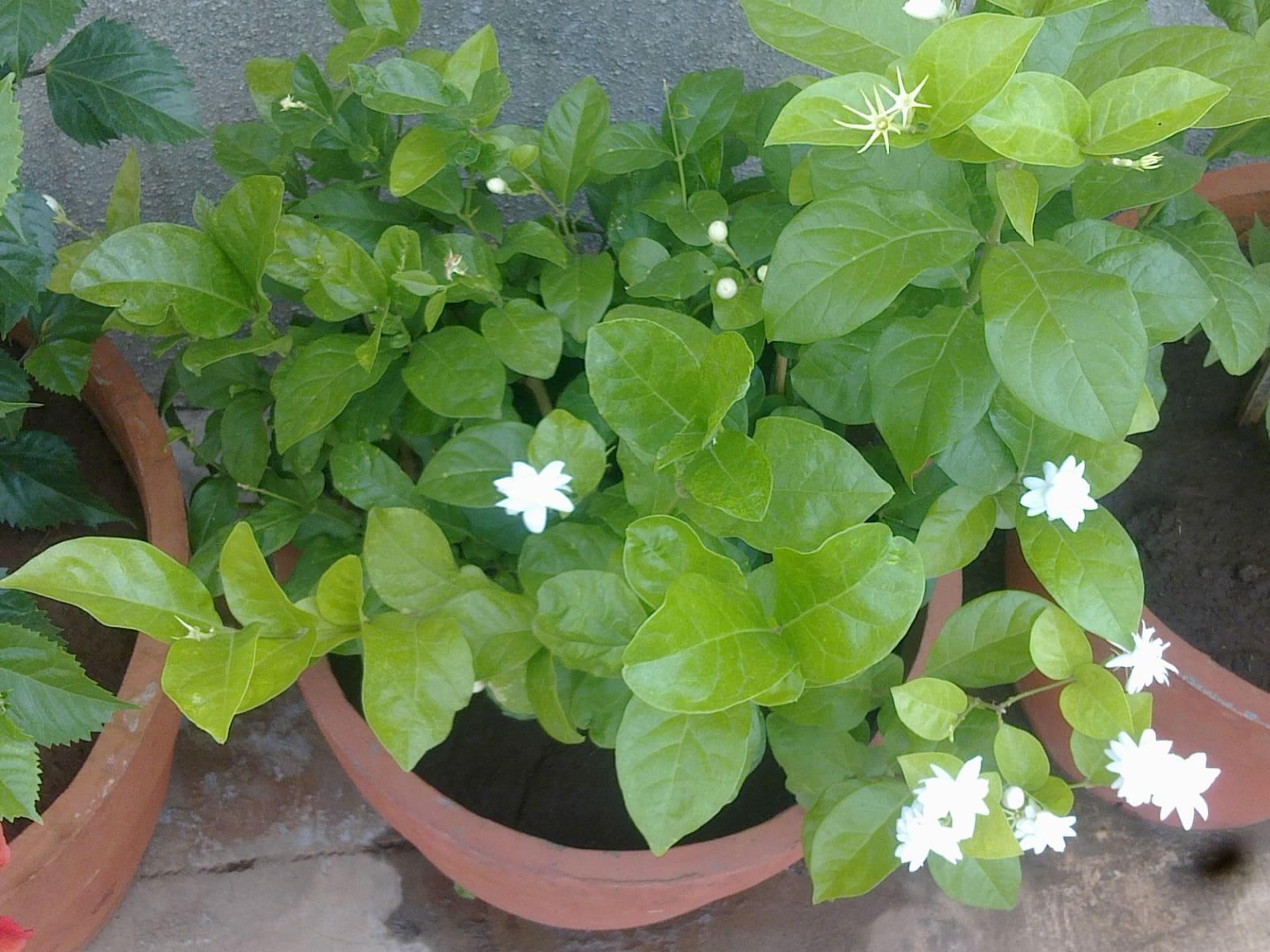 plants growing in my potted garden arabian jasmine blooms. Black Bedroom Furniture Sets. Home Design Ideas