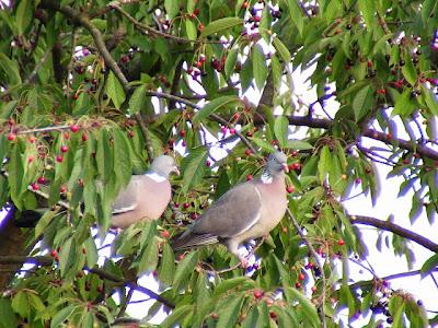 احلى صور زوجين من طيور الحمام وسط اغصان الاشجار الخضراء