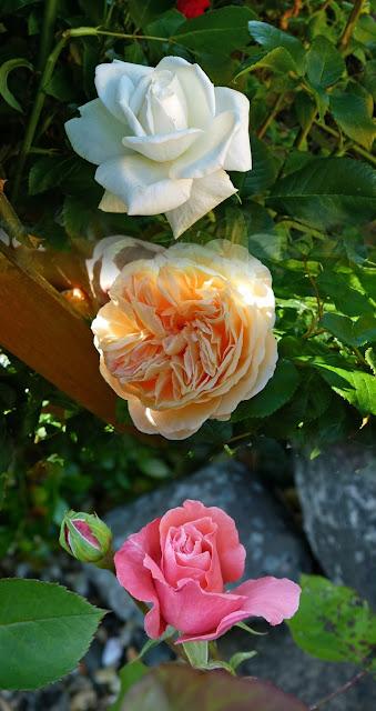 Burton in Lonsdale, Open Gardens, roses