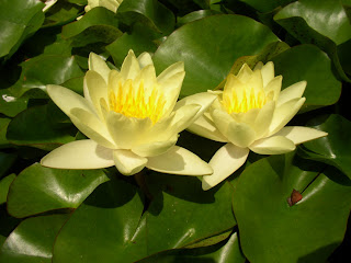 Beautiful Yellow Water Lily Flower