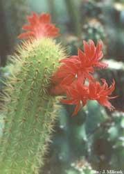 Borzicactus