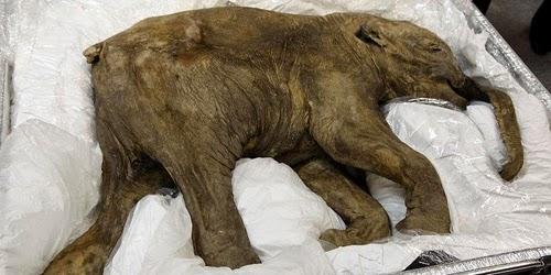 Trưng bày voi ma mút 42.000 năm tuổi