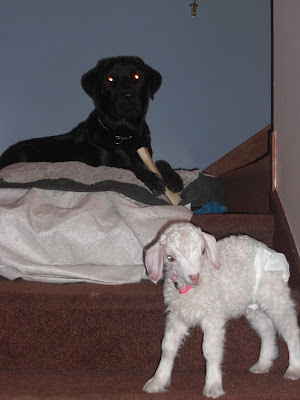 Picture of Rudy laying on his bed (chewing on his bone) Lucy is right in front of him - playing on the stairs