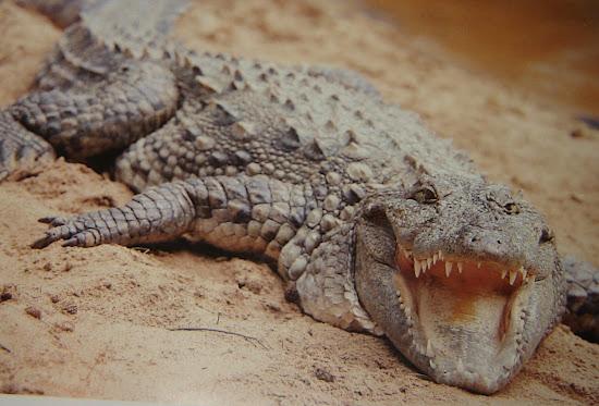 Que significa soñar con cocodrilos