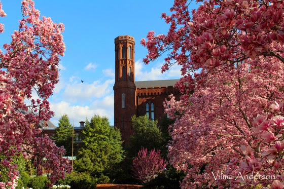 Cherry Blossom trees against the Smithsonian castle