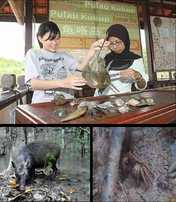 Kukup island wildlife 2