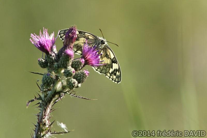 nature macro papillon demi deuil marais Épisy Seine-et-Marne