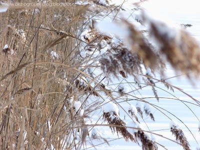 Trzciny przykryte śniegiem