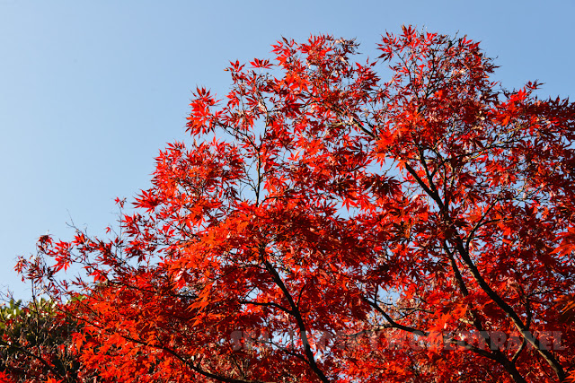 新宿御苑, 紅葉, shinjuku red leaves