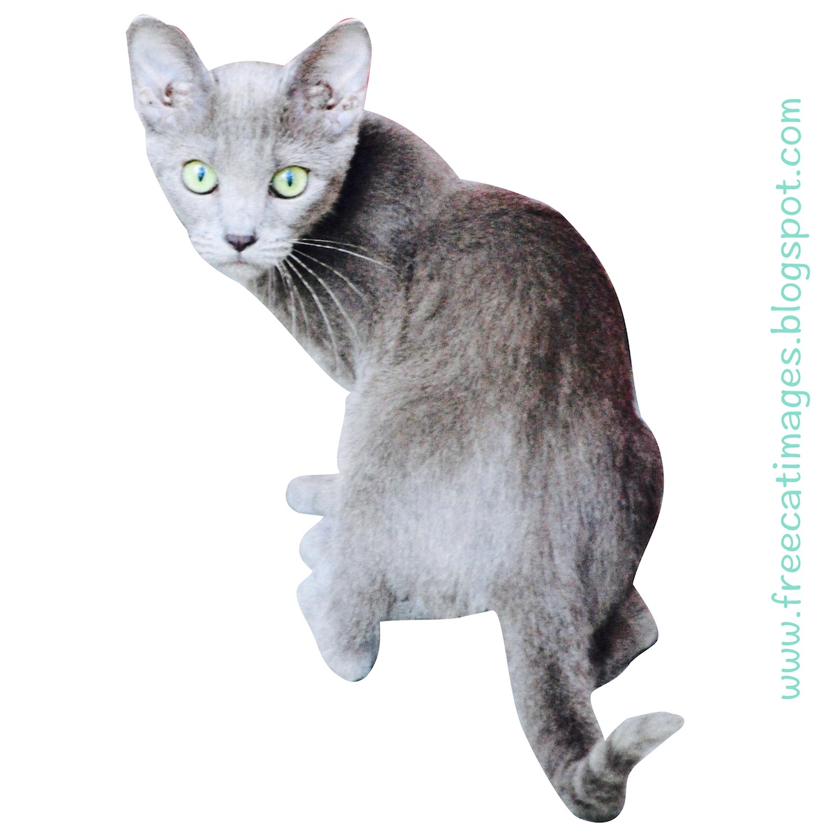pituitary dwarfism in cats