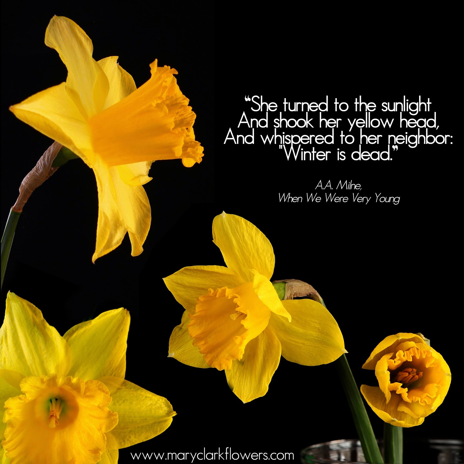 "Yellow daffodils on black background with quote from A.A Milne's, When We Were Very Young the reads: ""She turned to the sunlight and shook her yellow head, and whispered to her neighbour:""winter is dead""."