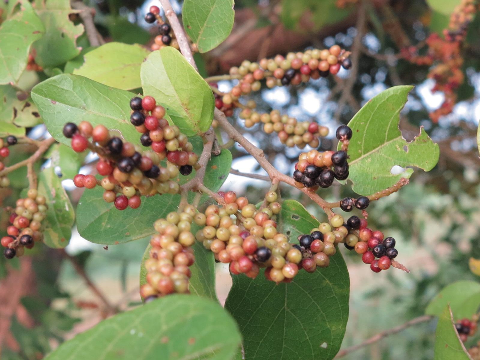 Pokok Herba,bunga, Ulaman Dan Segala Jenis Tumbuhan: October 2012