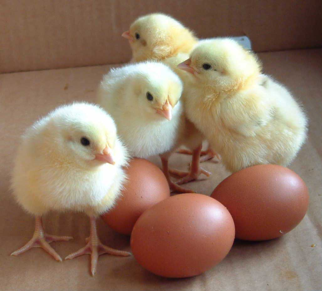 Day-Old-Chicks-Eggs