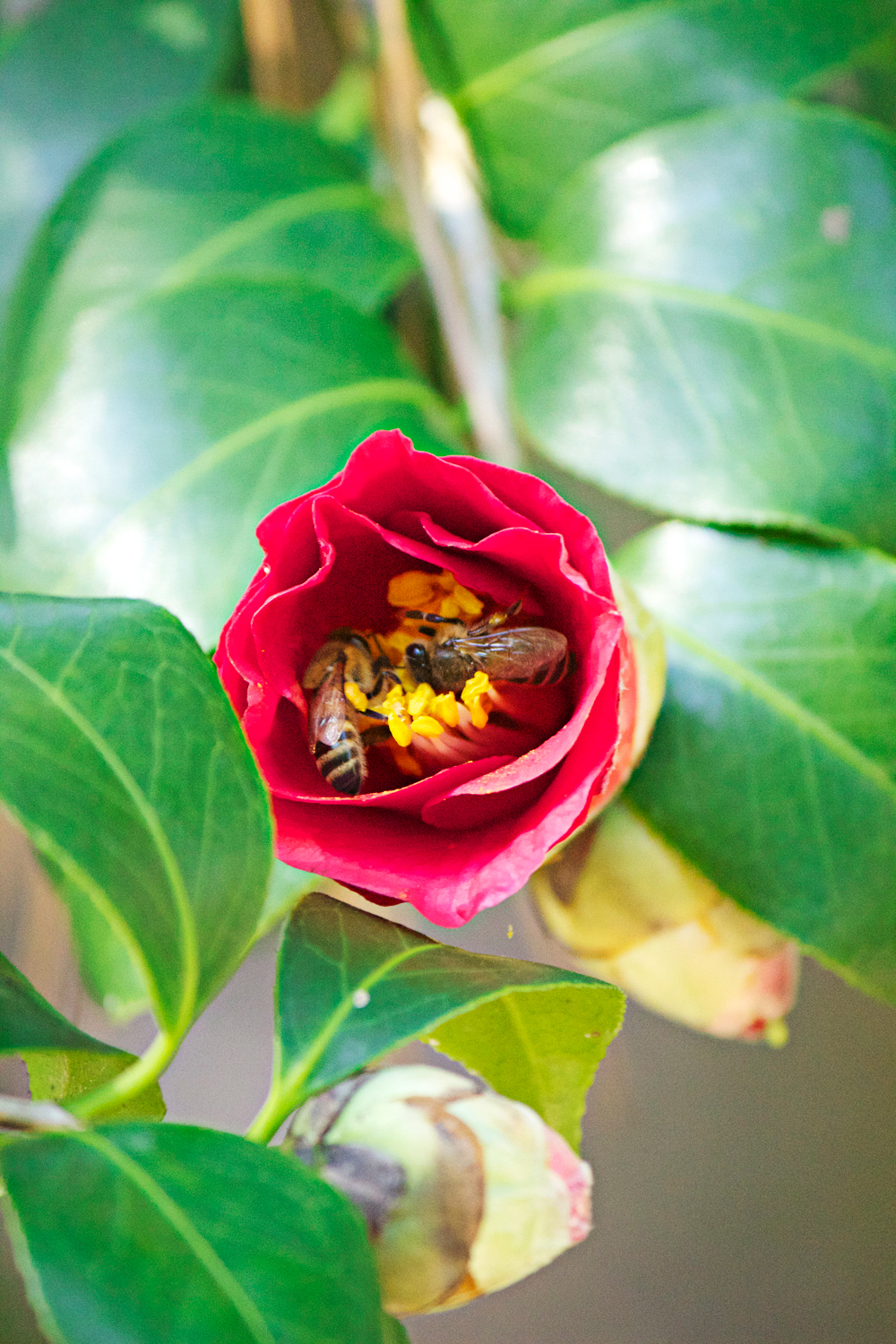 red rose with bees macro photography - photo copyright Allison Beth Cooling